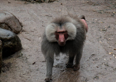 Een aap die rondloopt in de dierentuin tijdens de jubileumdag van KansPlus