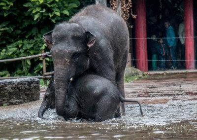 Een moeder olifant met haar pasgeborgen baby aan het spelen in het water