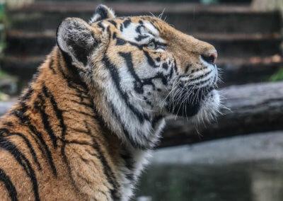De kop van een tijger die omhoog kijkt in dierenpark Amersfoort
